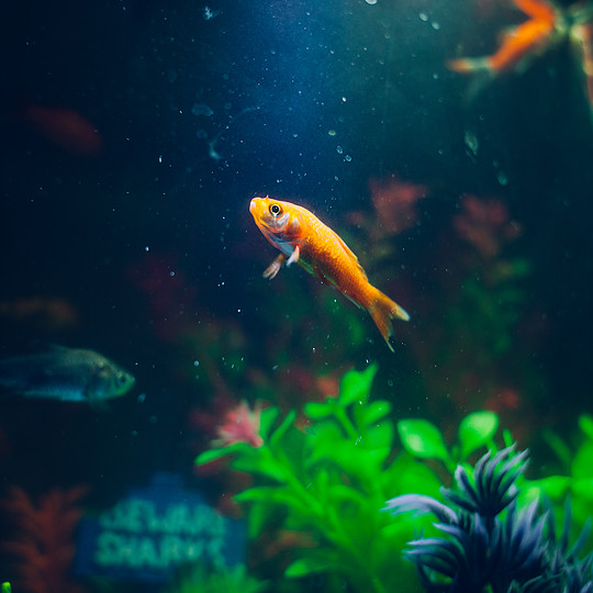Spotlight Fish: Goldfish